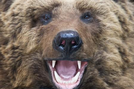 enraged: Enraged brown bear closeup Stock Photo