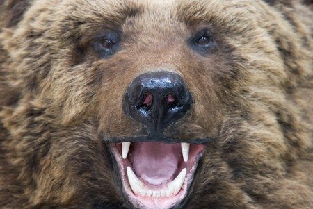 Enraged brown bear closeup photo