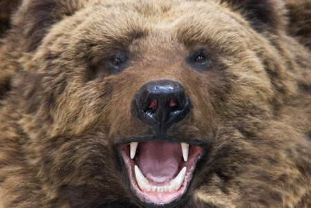 grizzly: Enraged brown bear closeup Stock Photo