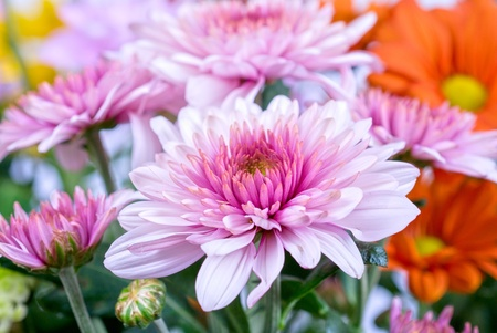 beauty color chrysanthemum flowers close up 写真素材
