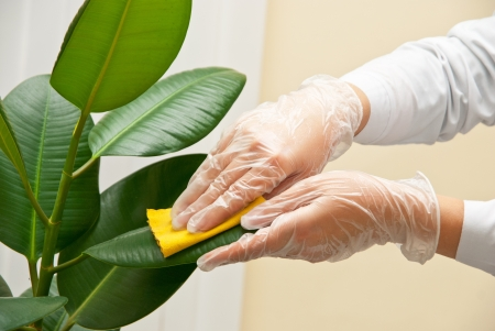 ficus: Hand at gloves cleaning ficus plant by wet sponge
