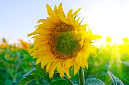 beautiful sunflowers at field with blue sky and sunburst photo