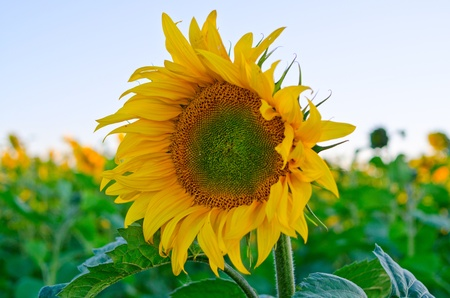 beautiful sunflowers at field with blue sky photo