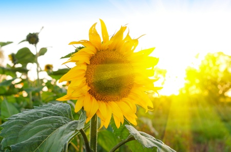 beautiful sunflowers at field with blue sky and sunburst