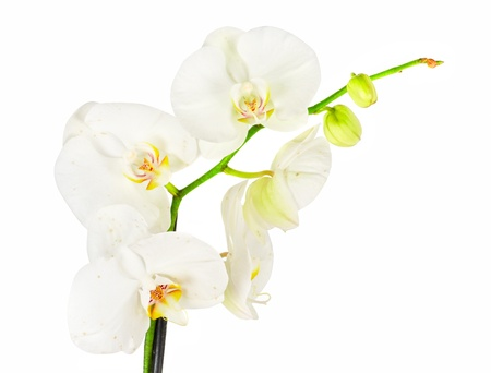 phal: White orchid closep on a white background