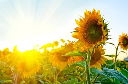 semillas de girasol: girasoles hermosos en el campo con cielo azul y rayos de sol