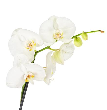 Orchidée blanche closep sur fond blanc Banque d'images - 11407704