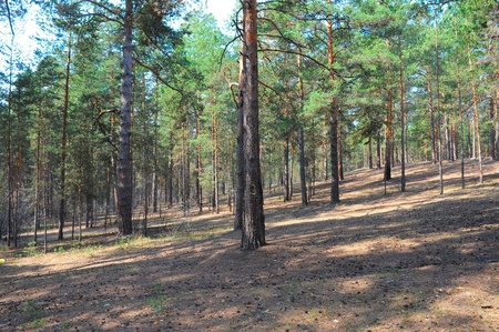 Photo of the Summer pine forest Stock Photo - 13660417