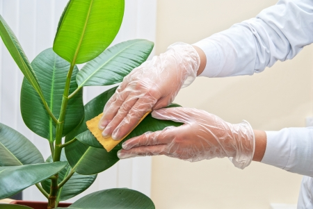 Hand at gloves cleaning ficus plant by wet sponge photo