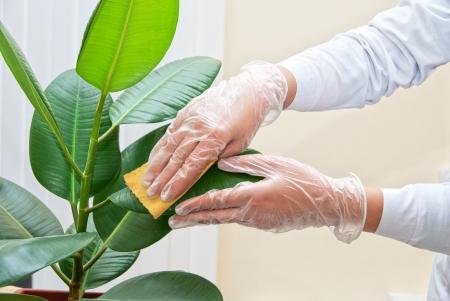 Mano a guanti di pulizia pianta di ficus da spugna bagnata