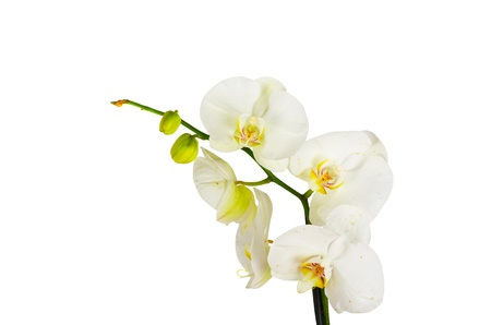 White orchid closep on a white background photo