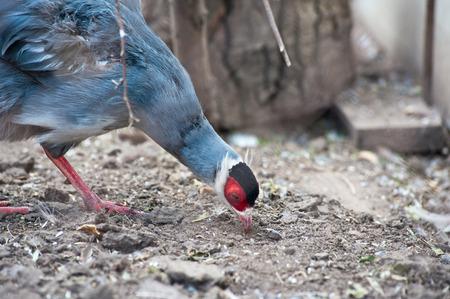 wildlife shooting: Single eating pheasant bird photo