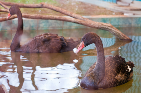 Swimming on water black swan photo