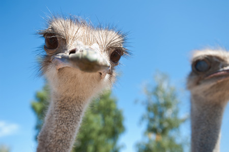 Portrait of an ostrich in sunny day photo