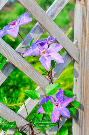 purple flowers on picket fence photo