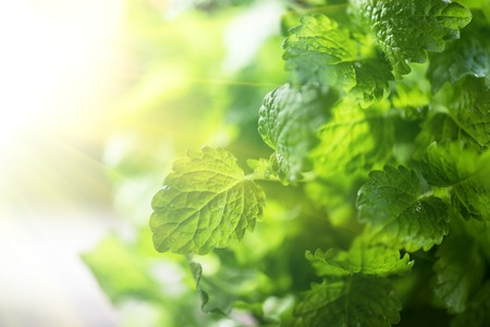 lemon balm: Green fresh melissa leaves close up Stock Photo