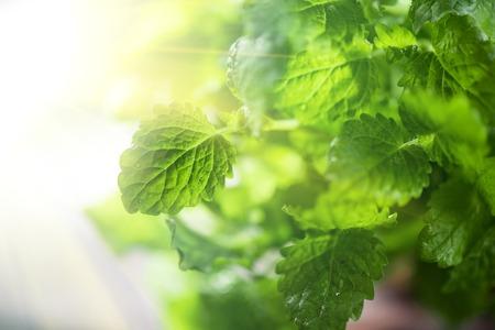 Green fresh melissa leaves close up Reklamní fotografie