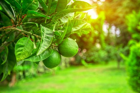 Lime tree with fruits closeup 写真素材