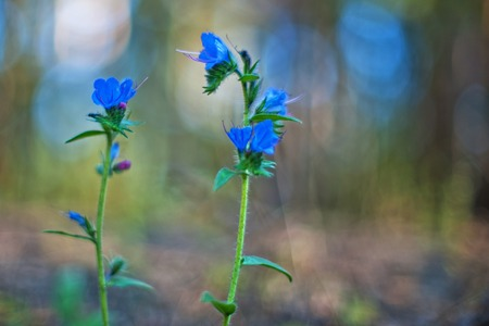 def: Blue forest flower, art photo with shallow depth of field and bokeh Stock Photo