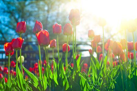 tulipan: Pole czerwone tulipany z kolorowych słońca Gwiazda Zdjęcie Seryjne