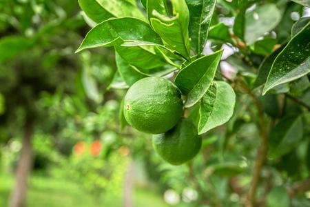 florida citrus: Lemon tree with fruits closeup