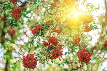 sorbus: rowan-tree with rowanberry and sunrise