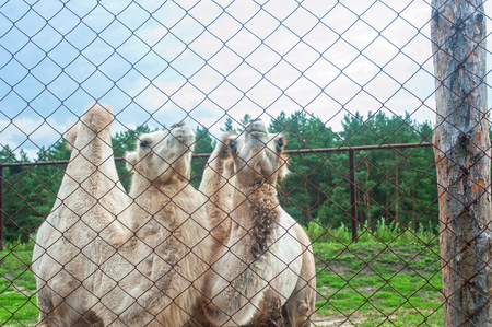 behind bars: Photo of camels behind bars in zoo