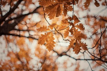 roble arbol: árbol de roble del otoño sale del fondo