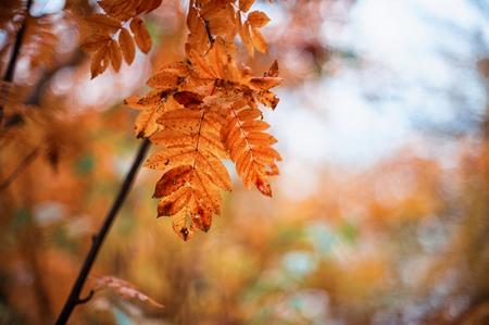 ash tree: autumn rowan-tree with rowanberry and sunrise Stock Photo