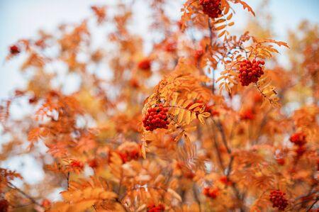rowanberry: autumn rowan-tree with rowanberry and sunrise Stock Photo