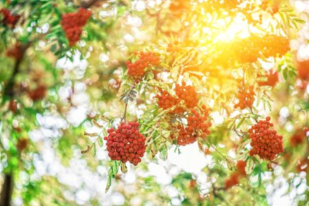 rowanberry: rowan-tree with rowanberry and sunrise