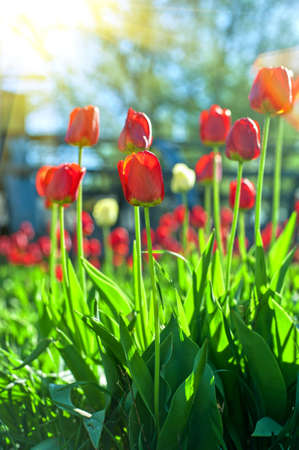 field of flowers: Field of red colored tulips with starburst sun