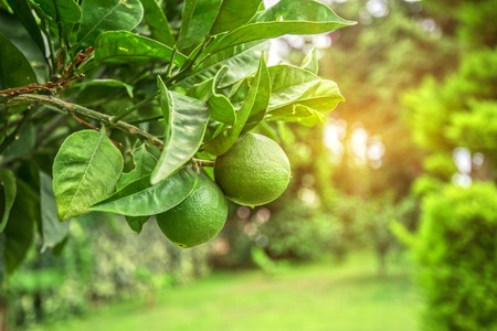 Lime tree with fruits closeup Stock Photo