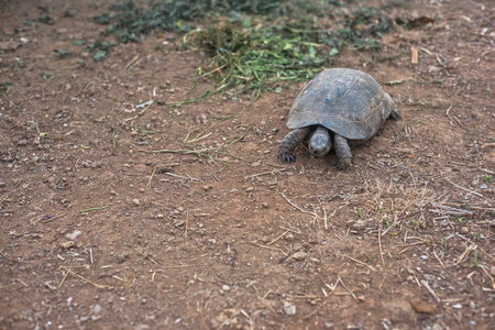 land turtle: Photo of the turtle on the land