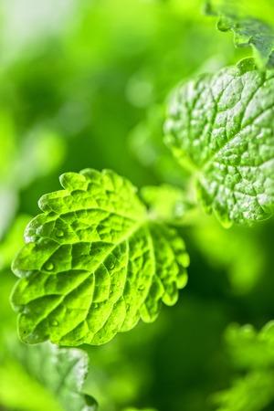 melissa: Green fresh melissa leaves close up Stock Photo