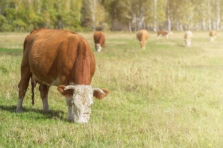 altay: Grazing cow in mountain ranch, Altay Russia