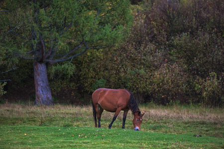 altay: Horses in mountain ranch, Altay Russia