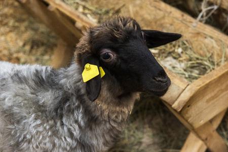 the innocence: Black sheep at farm
