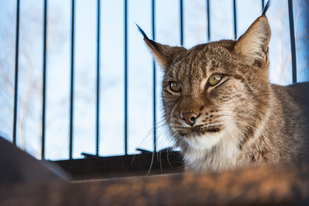 the lynx: Portrait of the lynx