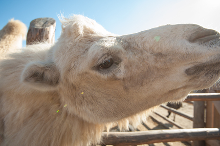 Closeup portrait of the white camel on a beautiful sunny day