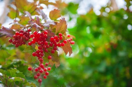 Red viburnum branch berries in the garden. Zdjęcie Seryjne