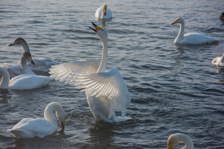Beautiful white whooping swans swimming in the nonfreezing winter lake.