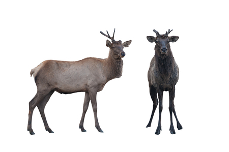 Two marals male and female isolated on a white background. 版權商用圖片