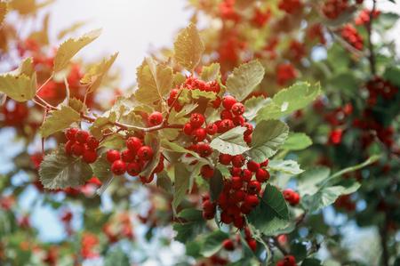 Red berries of crataegus monogyna, known as hawthorn on green bush