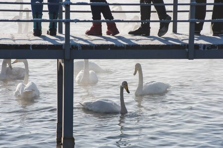 People on the pier watching and feeding beautiful white whooping swans swimming in the nonfreezing winter lake. The place of wintering of swans, Altay, Siberia, Russia.