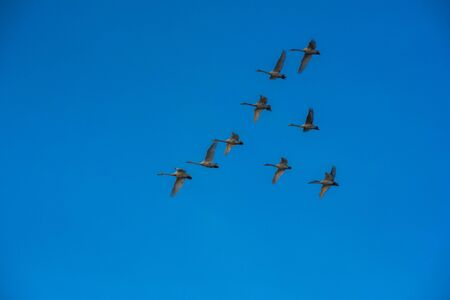Flying whooper swans on blue sky background, Altai, Russia