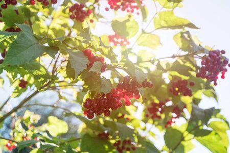 Red viburnum branch berries in the garden. Stok Fotoğraf