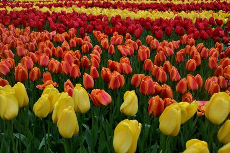 planted: Tulip Field. Tulips are planted in stripes of different colors Stock Photo