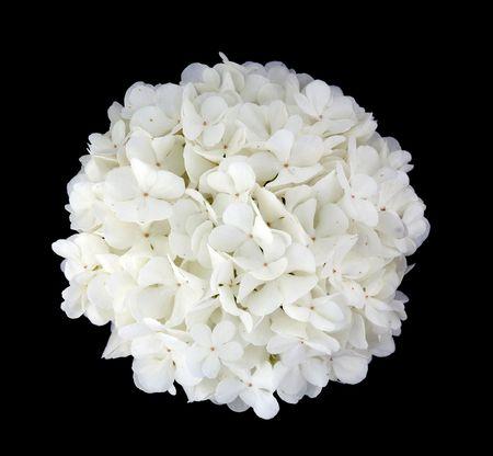 viburnum flower on a black background