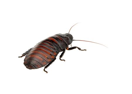madagascar hissing cockroach: Madagascar hissing cockroach Stock Photo